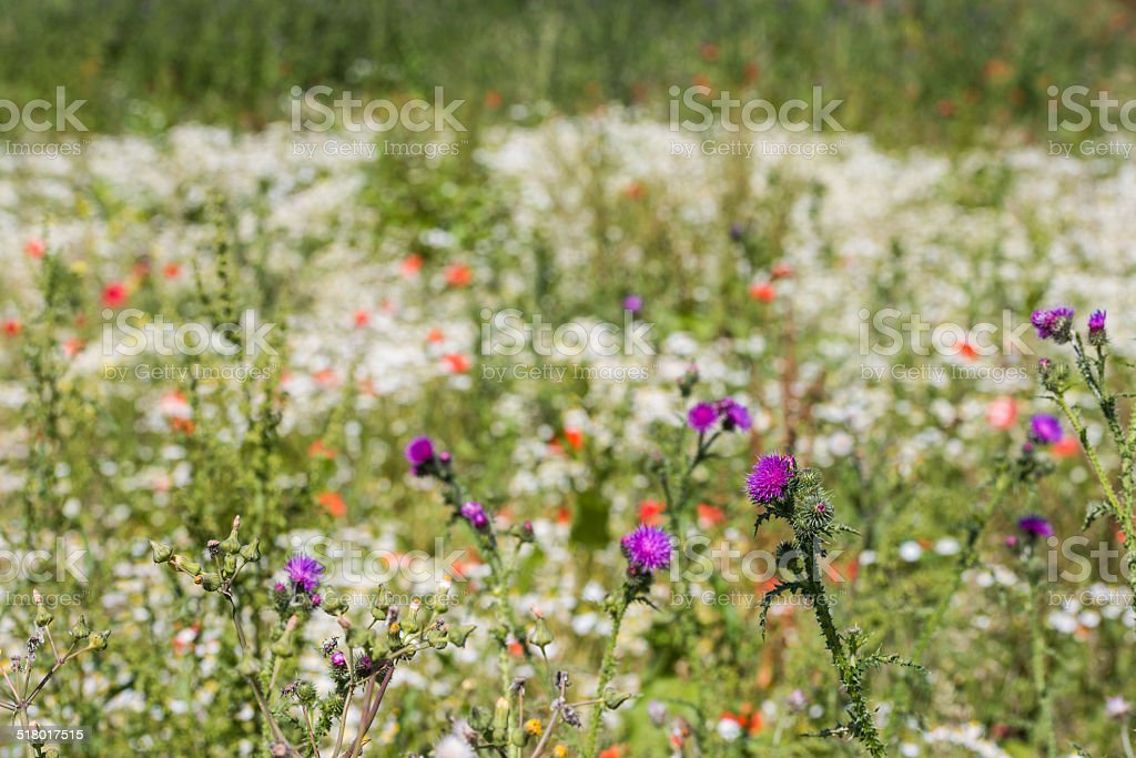 Wildflowers blooming and budding stock photo