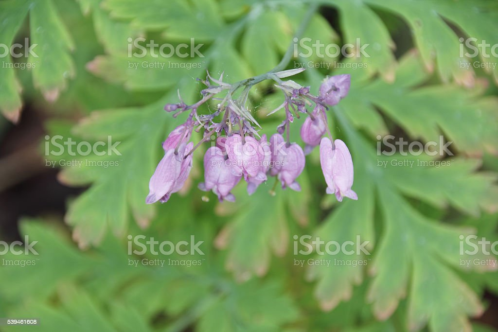 Wildflower's Corolla stock photo