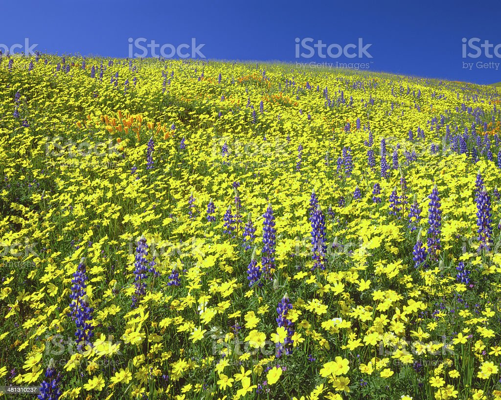 Wildflowers cover the hills of California royalty-free stock photo