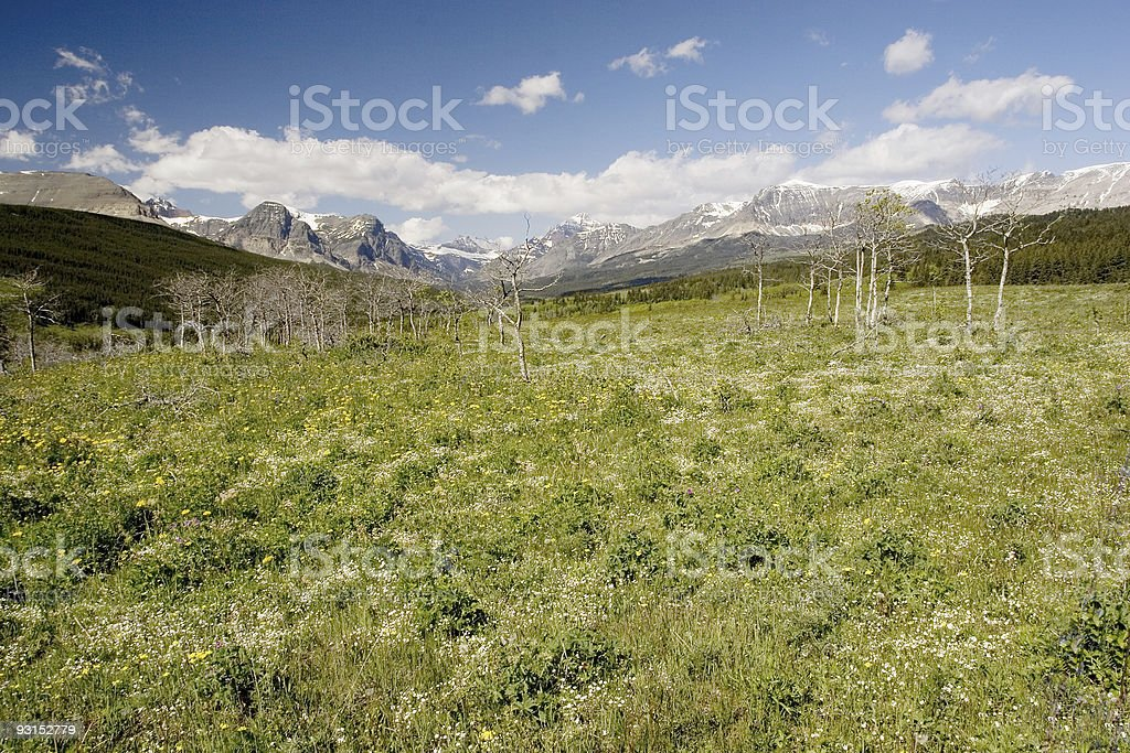 Wildflowers, Glacier National Park royalty-free stock photo