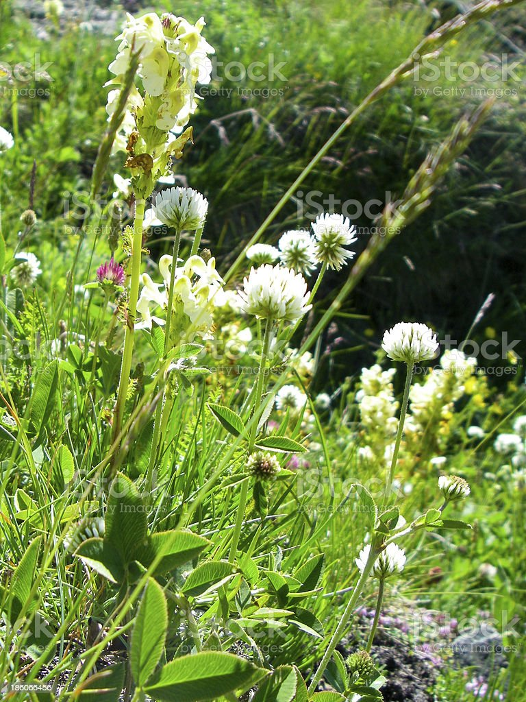 Wildflowers in an Alpine Meadow Swiss Alps near Zermatt Switzerland stock photo