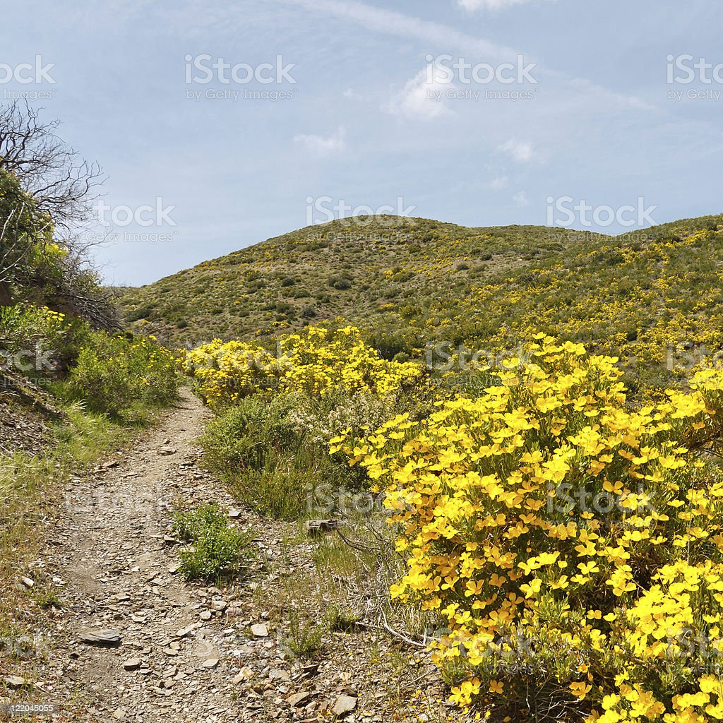 Wildflowers in Anza-Borrego Desert State Park stock photo