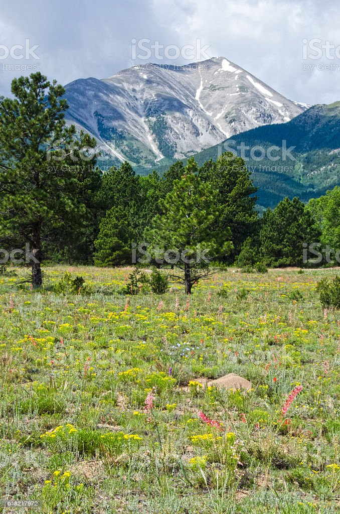 Wildflowers in Bloom at the Base of Mount Princeton stock photo