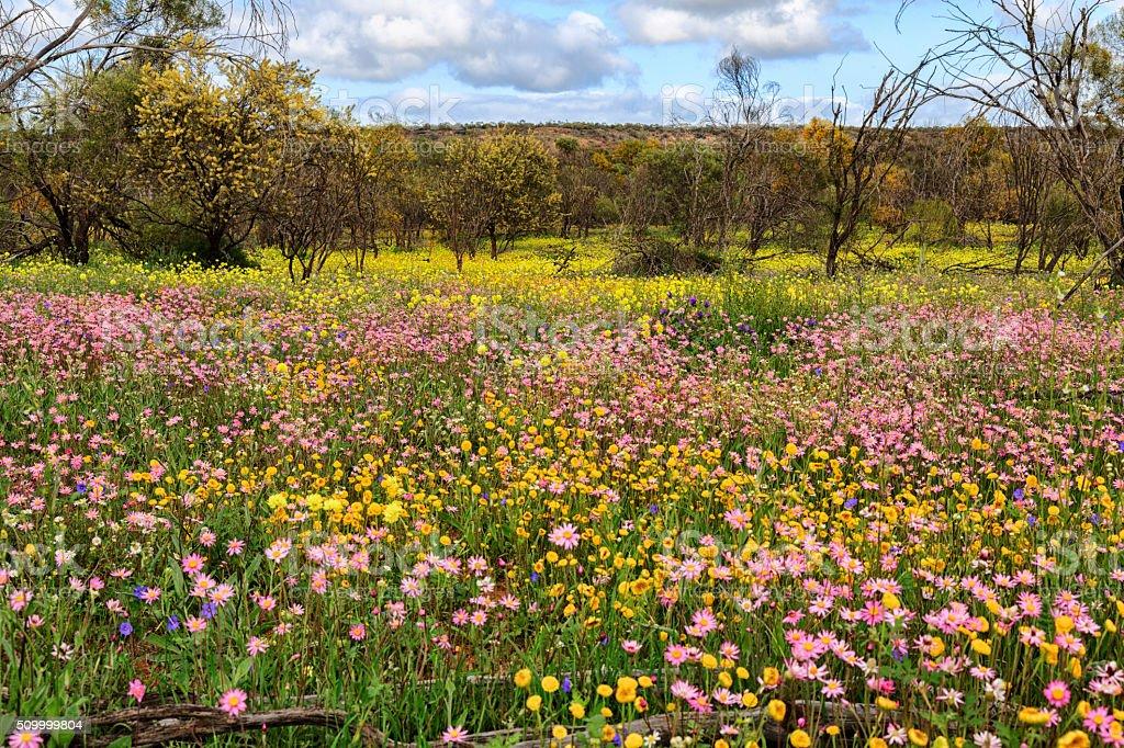 Wildflowers in Coalseam Conservation Park stock photo