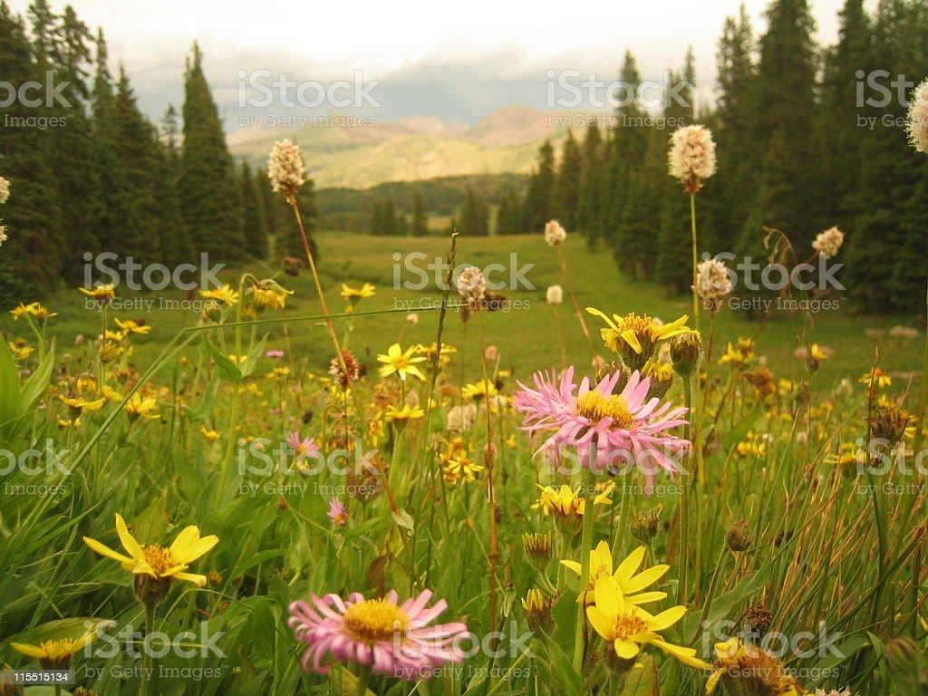 Wildflowers in Colorado (2) stock photo