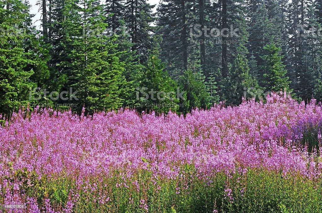 Wildflowers in El Dorado National Forest stock photo