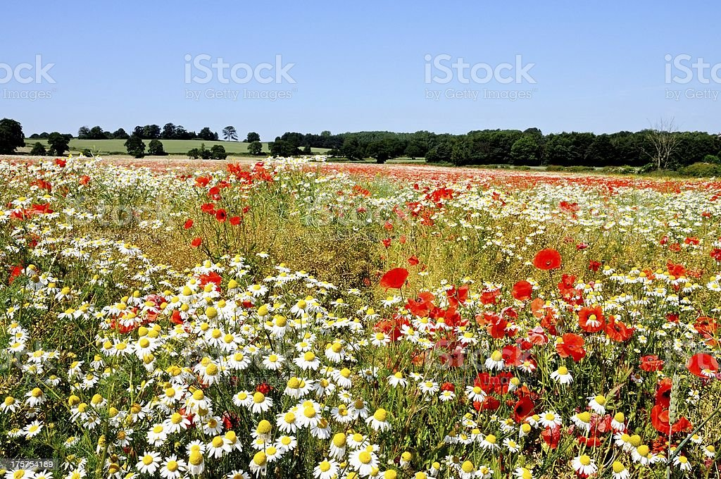 Wildflowers in field, Lichfield, England. stock photo