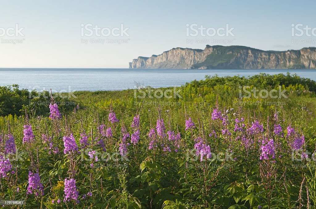 Wildflowers in Gaspe stock photo