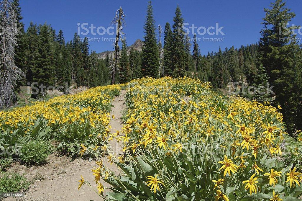 wildflowers in lassen volcanic national park, california stock photo