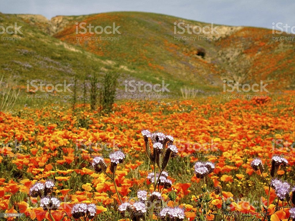 Wildflowers in Southern California stock photo