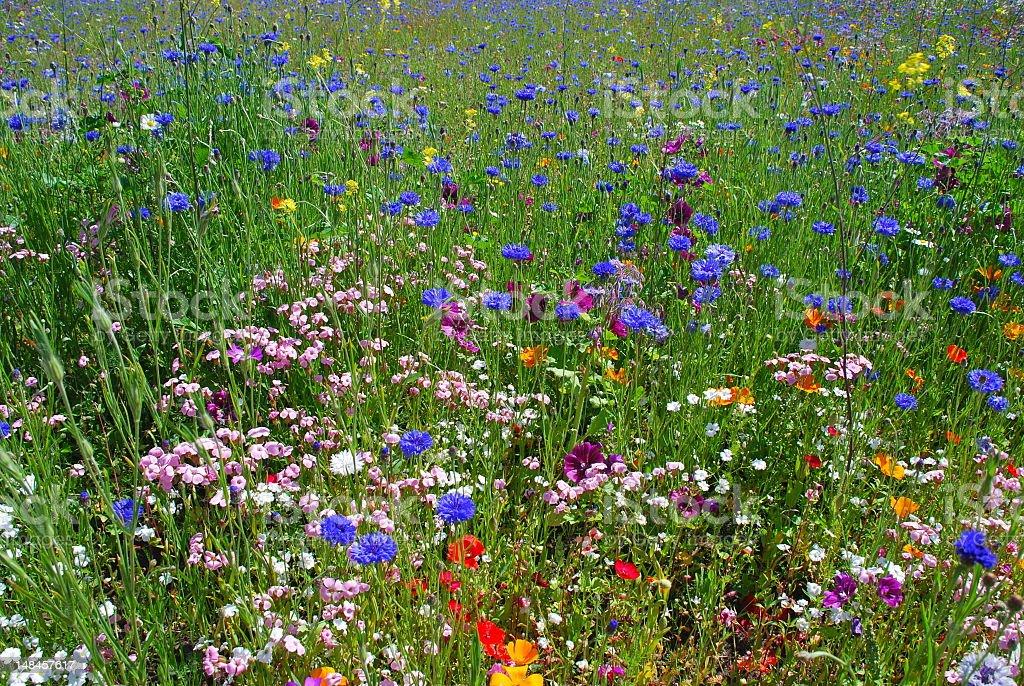 Wildflowers in summer meadow stock photo