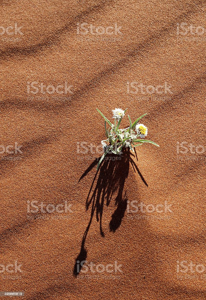 Wildflowers in the Australian Outback royalty-free stock photo