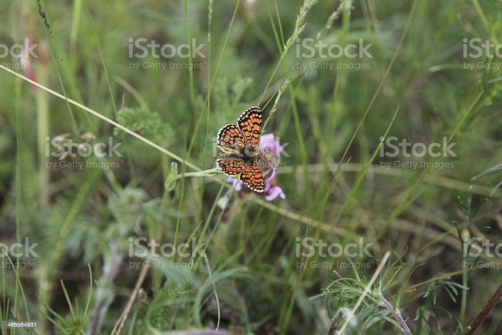 Wildflowers in the Mongolian steppe stock photo