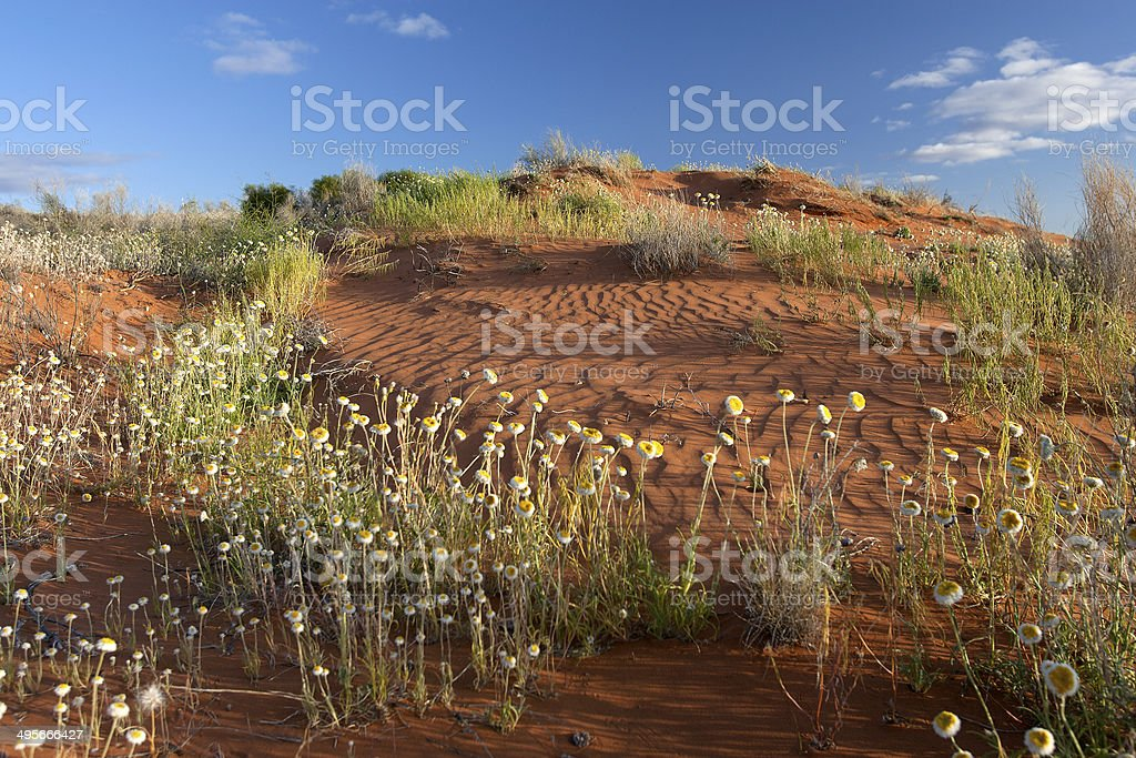 Wildflowers in the Simpsons Desert Australia royalty-free stock photo