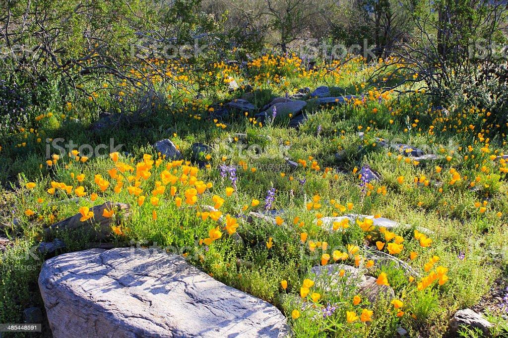 Wildflowers in the Sonoran Desert of Arizona royalty-free stock photo