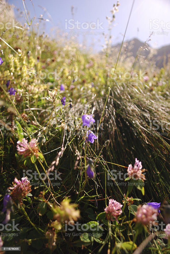 Wildflowers in the Swiss Alps stock photo