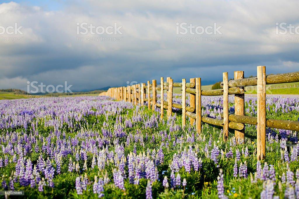 wildflowers in wyoming stock photo