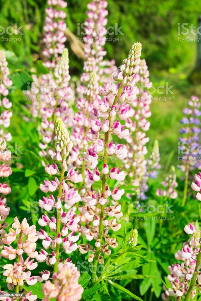 Wildflowers. Lupin Flowers stock photo