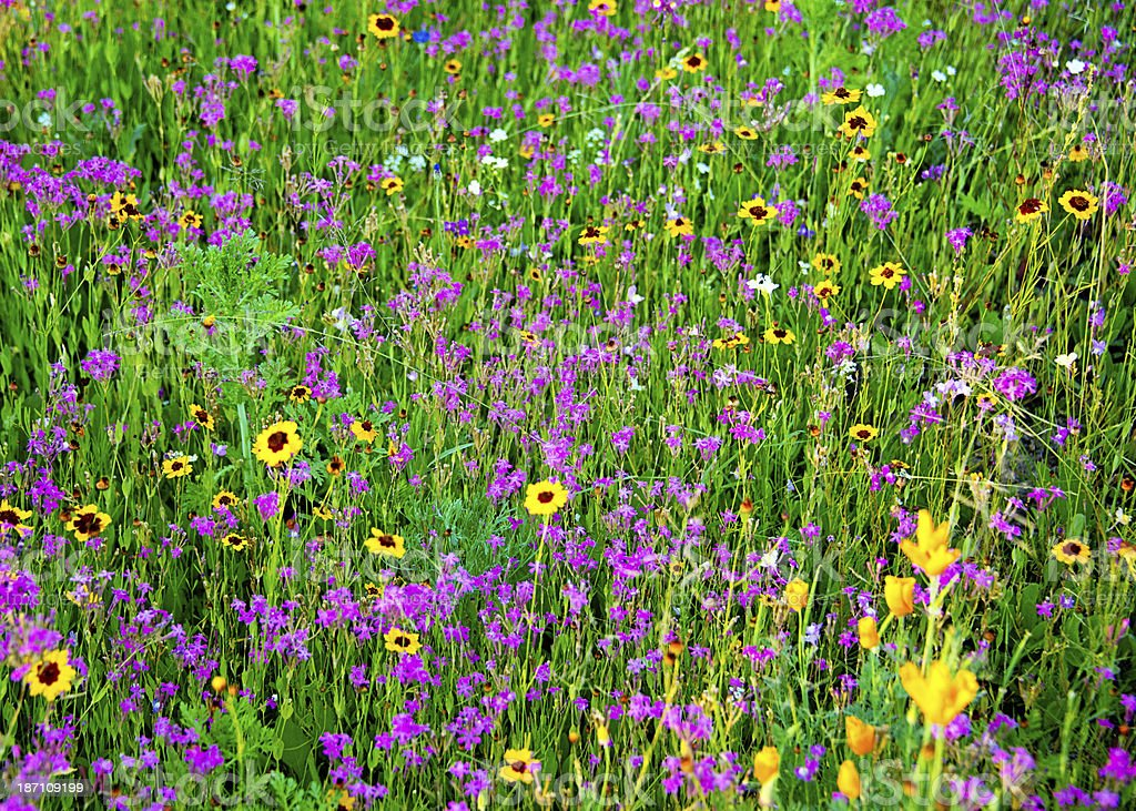 Wildflowers Meadow royalty-free stock photo