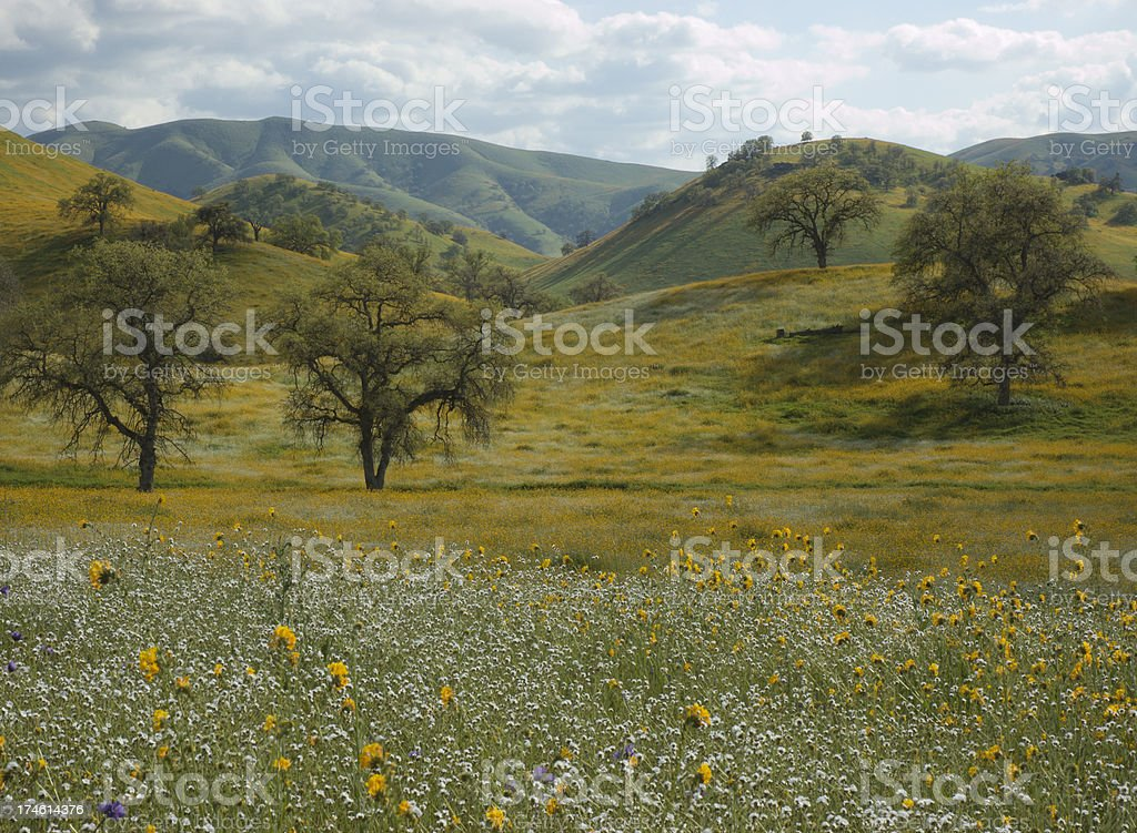 Wildflowers Oak Trees and Rolling Hills in California royalty-free stock photo