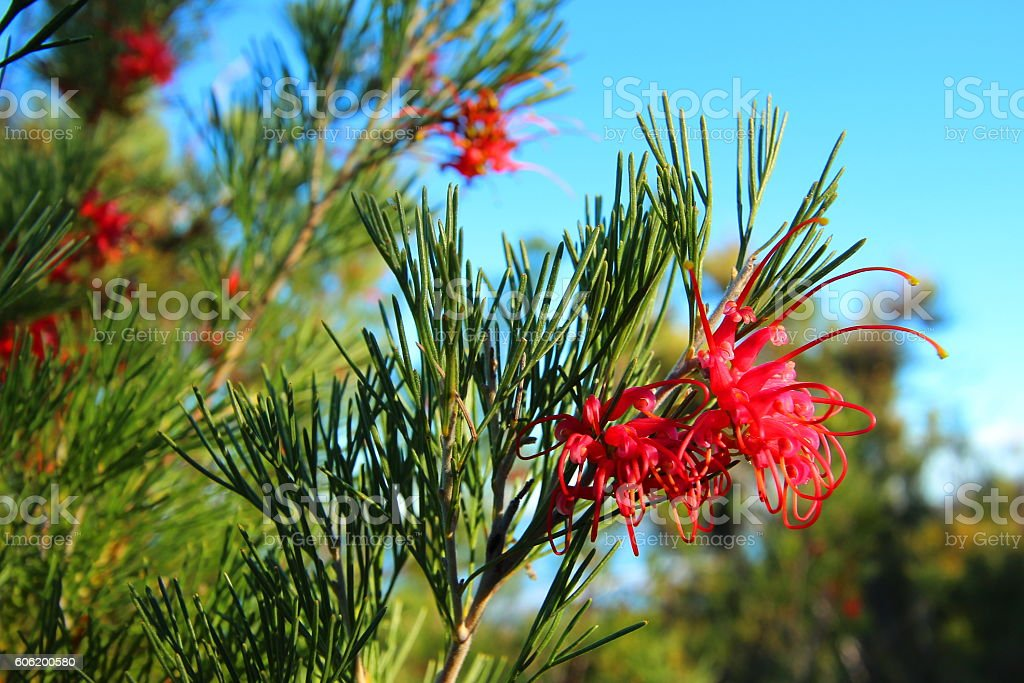 Wildflowers of Australia stock photo
