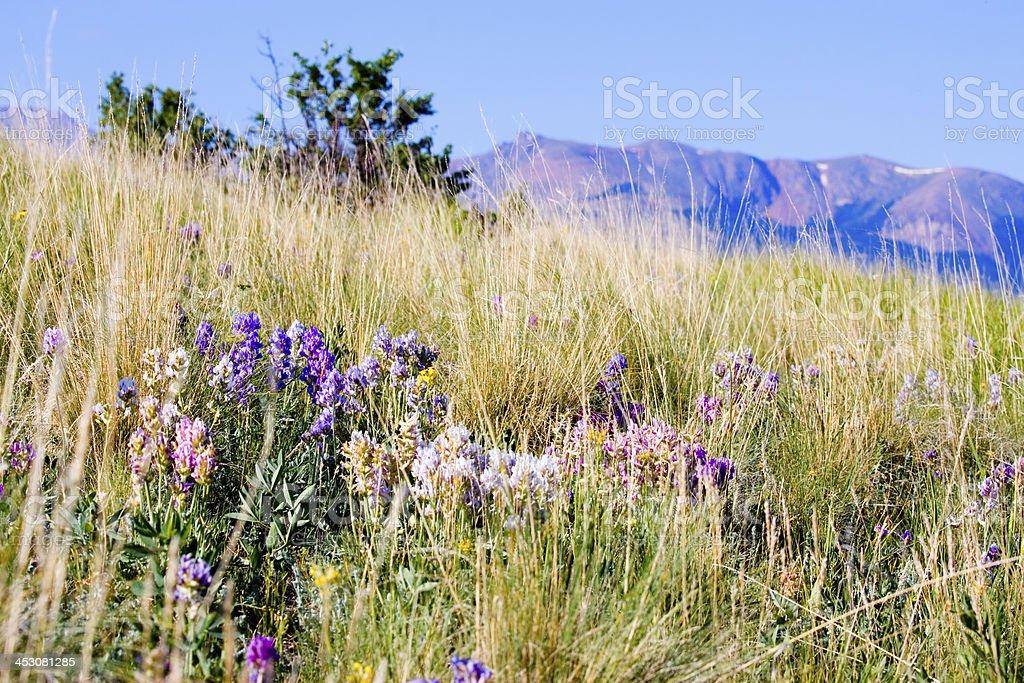 Wildflowers on Bald Mountain royalty-free stock photo