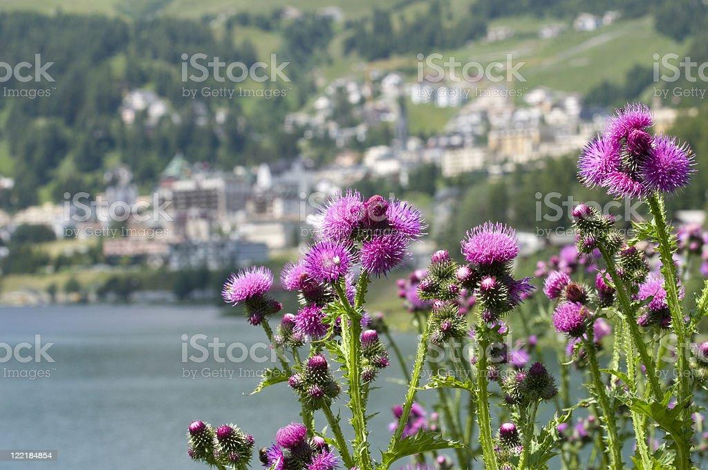 Wildflowers on coast of St. Moritz, Switzerland royalty-free stock photo