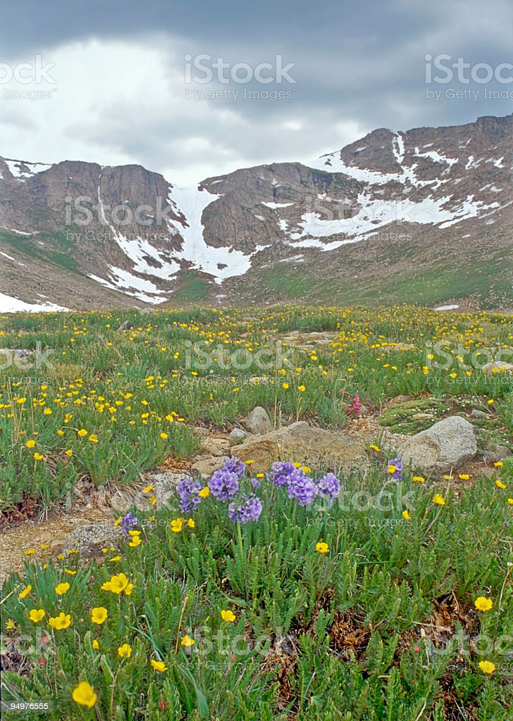 Wildflowers on Mount Evans royalty-free stock photo