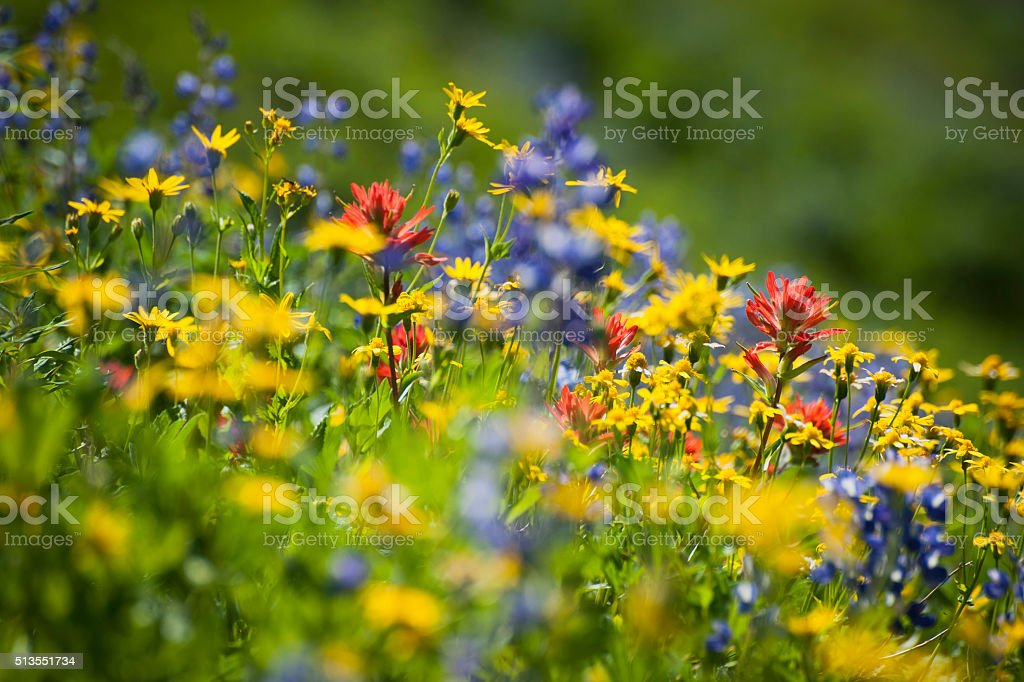 Wildflowers on Mt. Baker stock photo
