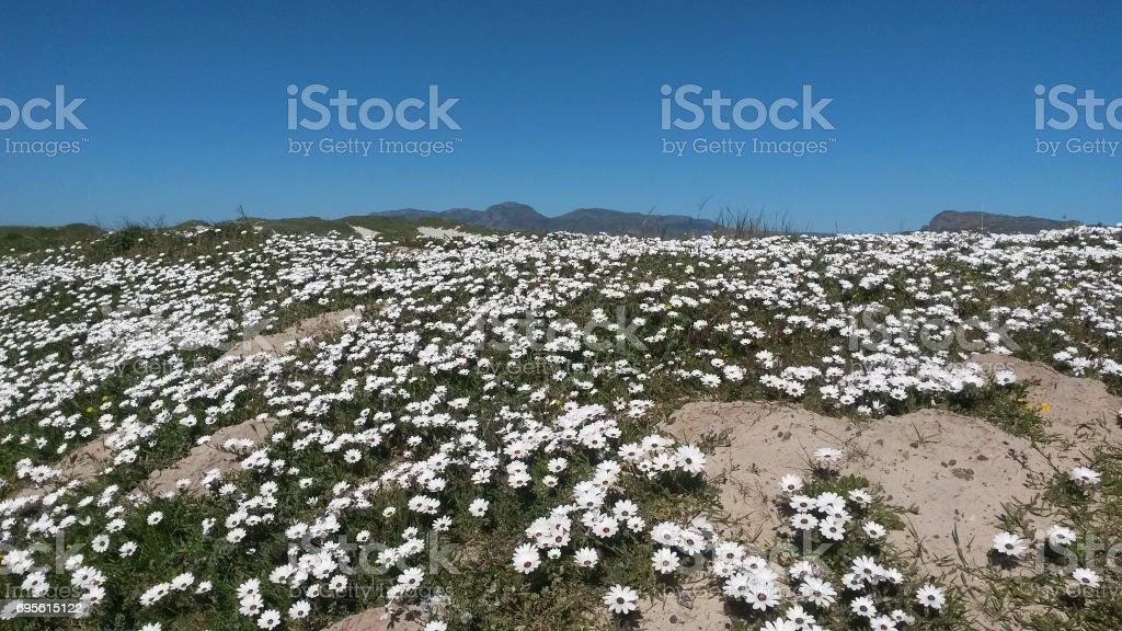 Wildflowers on the beach stock photo