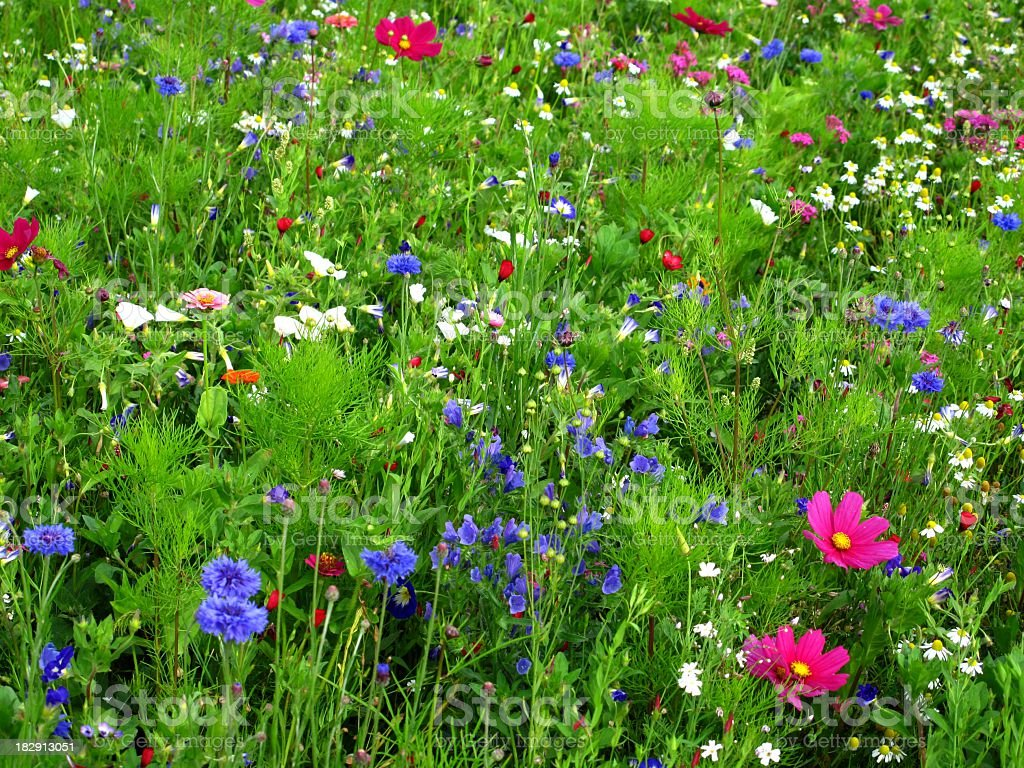 Wildflowers royalty-free stock photo
