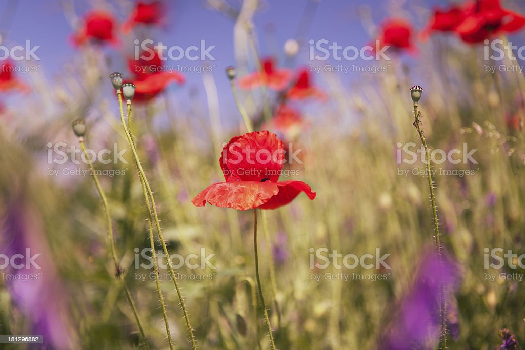 Wildflowers. royalty-free stock photo