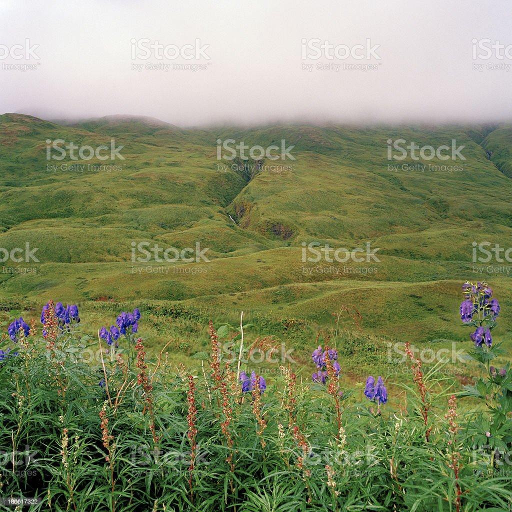 Wildflowers, Valley and Ravine, Dutch Harbor, Alaska stock photo