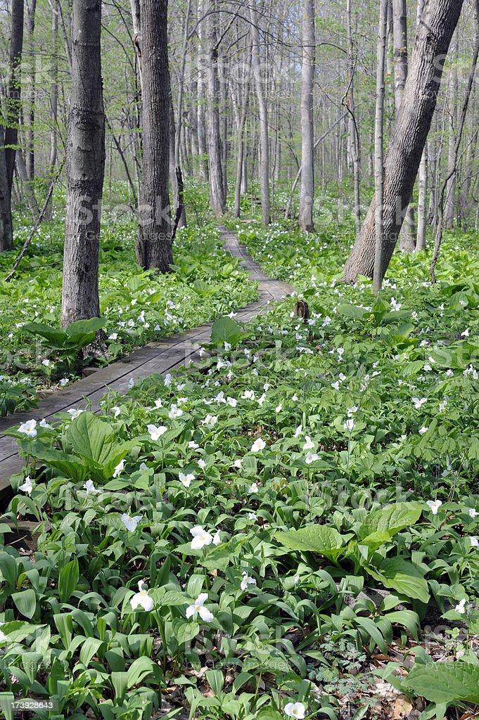 Wildflowers with boardwalk in woods stock photo
