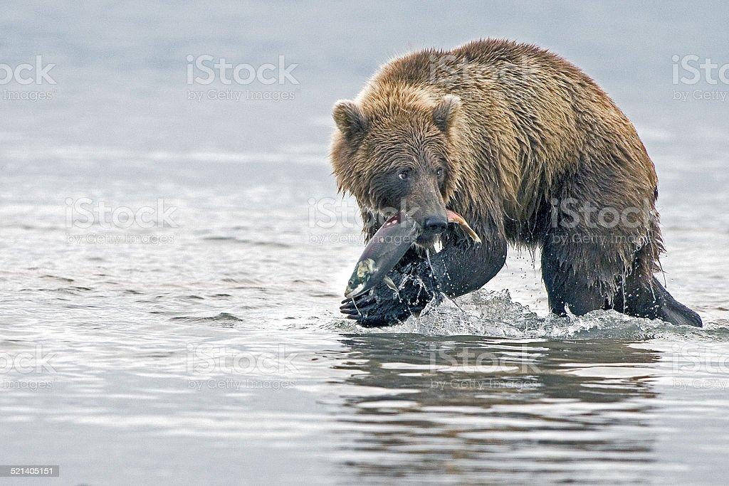 Wildlife bear stock photo