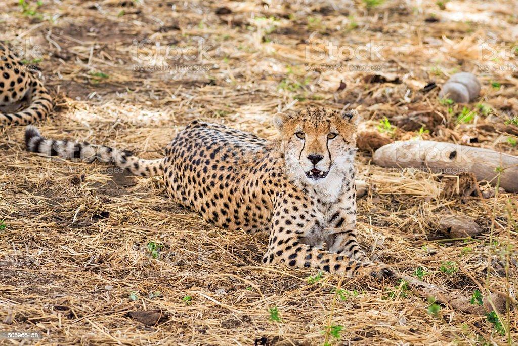 Wildlife Cheetah in Tarangire National Park / Tanzania stock photo