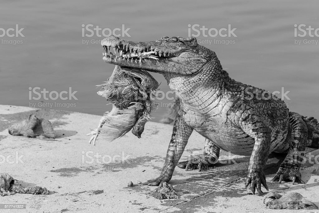 wildlife crocodile catches and eating a chicken, black and white stock photo