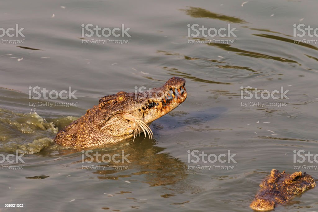 wildlife crocodile catches and eating a chicken in the river stock photo