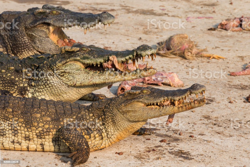 wildlife crocodile catches and eating a chicken stock photo