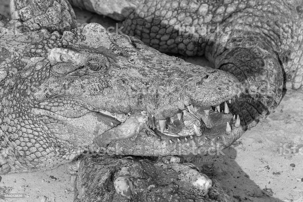 wildlife crocodile catches and eating chicken, black and white photo stock photo