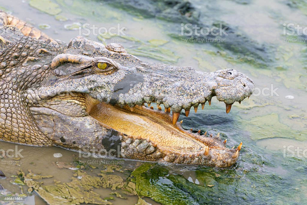 wildlife crocodile in the water stock photo