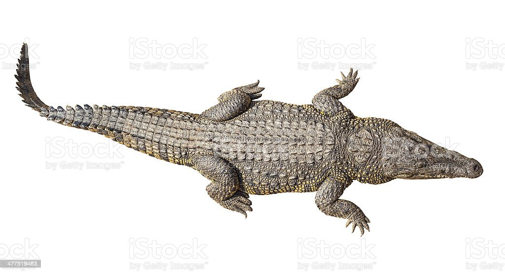 Wildlife crocodile isolated on white stock photo