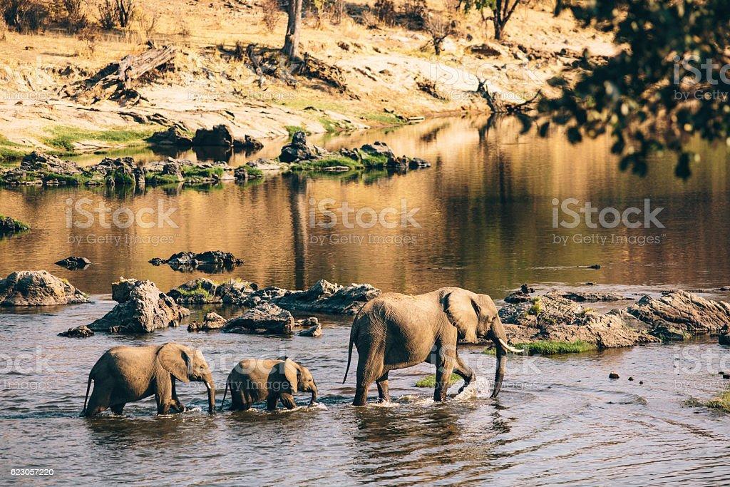 Wildlife elephants in Tanzania. stock photo