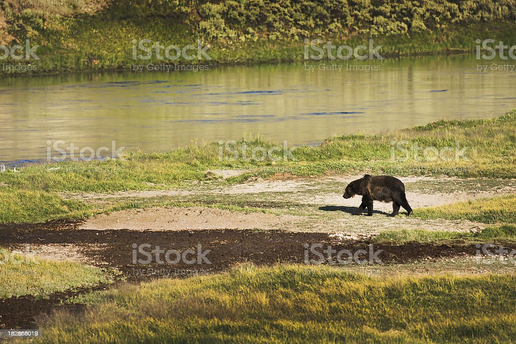 Wildlife Grizzly Bear in the Yellowstone National Park stock photo