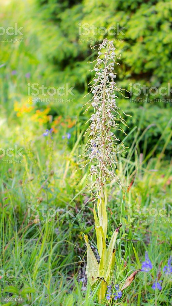 - Lizard Orchid Lizenzfreies stock-foto