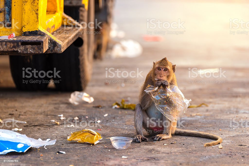Wildlife monkey eating food from plastic bag stock photo