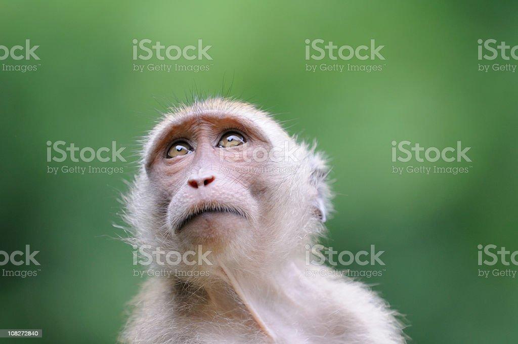 Wildlife Monkey Portrait - Khao Sak National Park stock photo