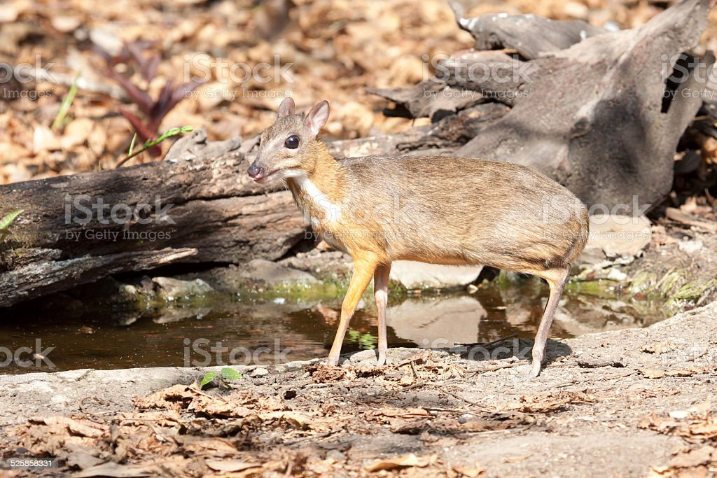 Wildlife mouse deer in the dry forest stock photo