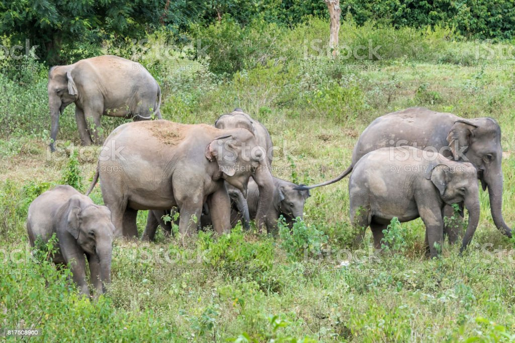 Wildlife of family Asian Elephant walking and looking grass for food in forest. Kui Buri National Park. Thailand. stock photo