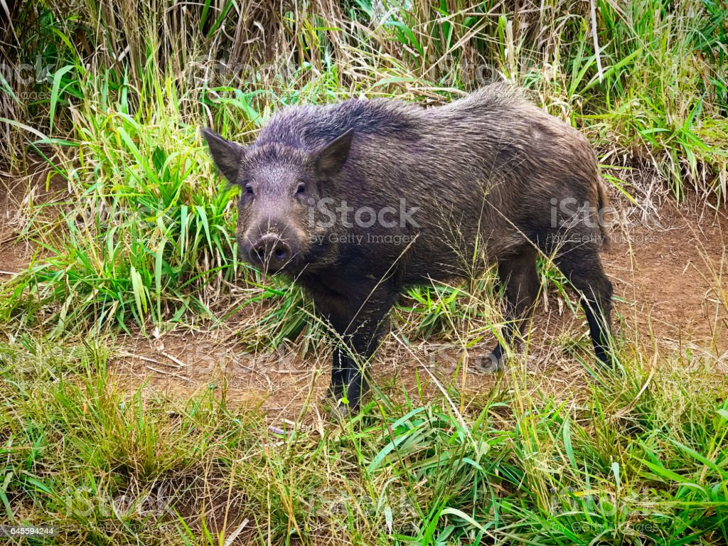 Wildlife Photo of a Wild Boar in the wild stock photo